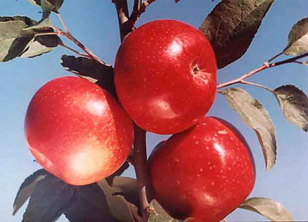 Яблони: ни года без урожая!