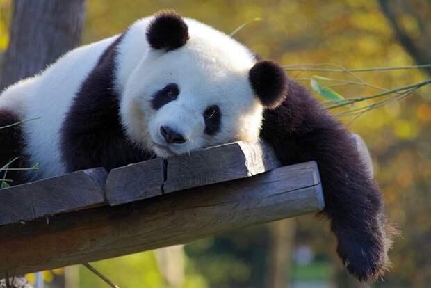 Международный день панд: мило, забавно, своевременно