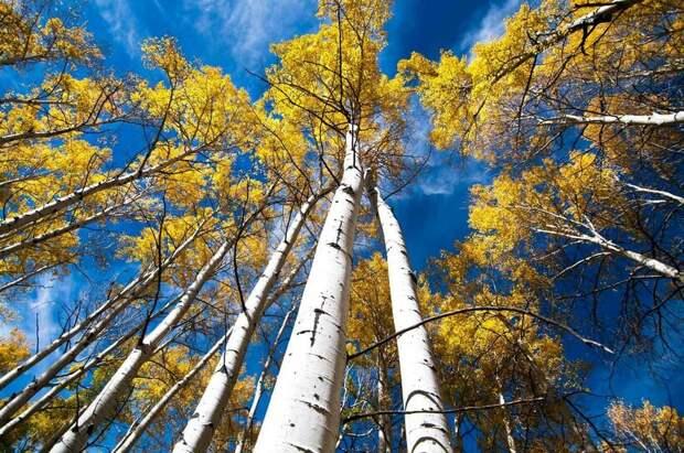 Пандо: уникальный лес из одного дерева, у которого есть имя