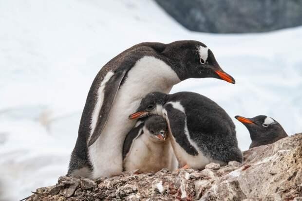 Антарктида: фото пингвинов