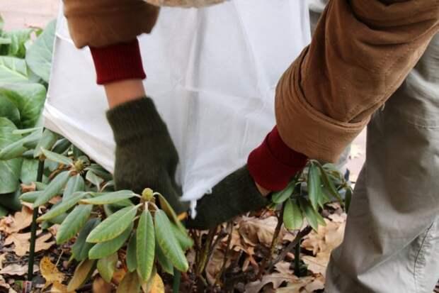 Как правильно подготовить рододендроны к зиме