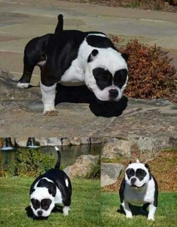Албанский питбуль — самый необычный пес в мире! ТОП неожиданных окрасов Титуса