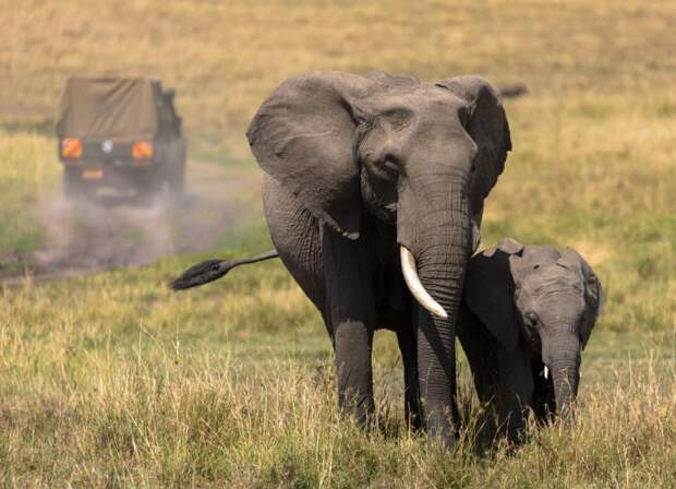 ВЗимбабве разрешат застрелить 500 слонов из-за нехватки денег нанациональные парки