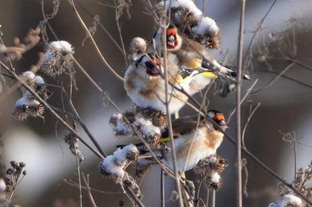 В Кузьминском парке сфотографировали семейство щеглов