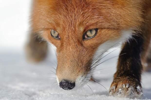 Несколько фактов о лисах