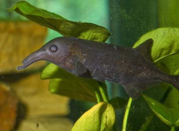 Гнатонем Петерса аквариумные рыбки, животные, необычные рыбы, рыбы