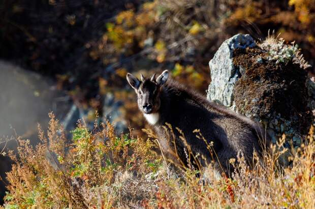 Фото-охота на дальневосточных горалов в Краю тайги