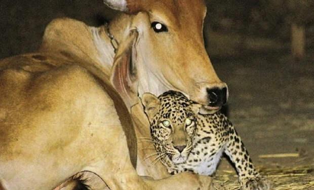 Люди поставили на ферме камеру и увидели, что к корове каждую ночь приходит леопард: видео