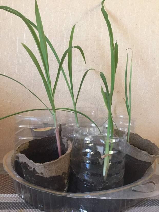 Как сажать рассаду кукурузы в открытый грунт? Важные правила