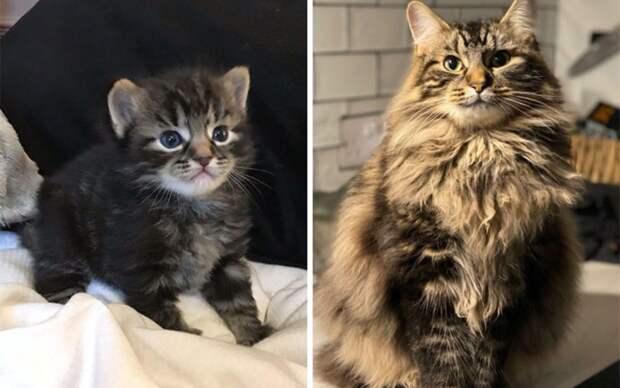 10+ впечатляющих превращений пушистых комочков в грациозных котов