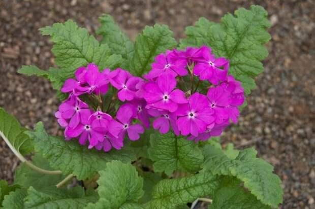 Примула Зибольда, фото сайта wildgingerfarm.com