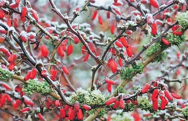 Барбарис Atropurpurea зимой
