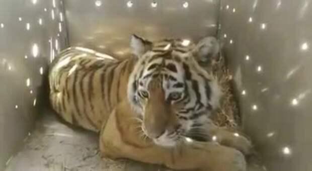 Тигра-хулигана отловили в Приморском крае. Он перепугал местных жителей