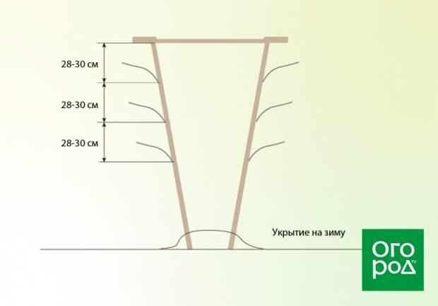 Чертеж V-образной двухплоскостной шпалеры для винограда