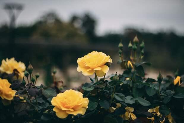 У каждого цвета роз — свое значение. Знаете ли вы их?