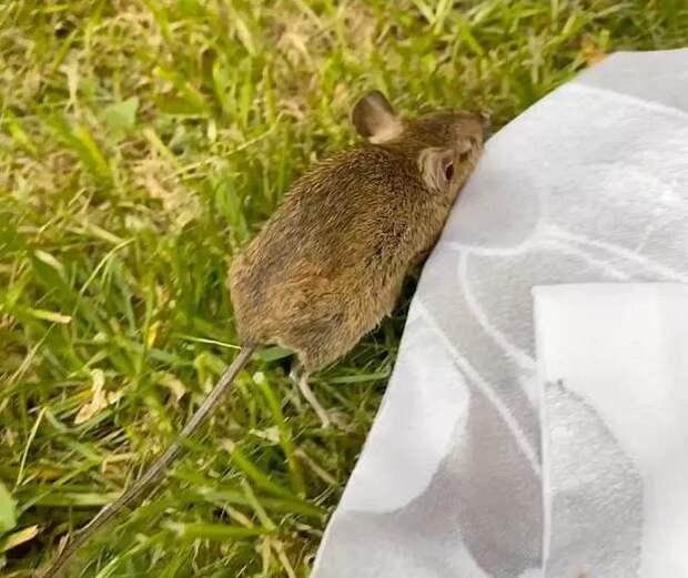 Женщина нашла в саду мышонка без признаков жизни и решила ее оживить!
