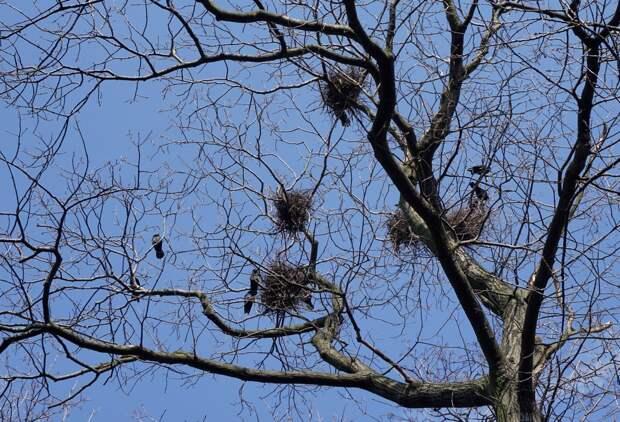 В Челябинске небывалое количество грачей свили гнезда в детсаду