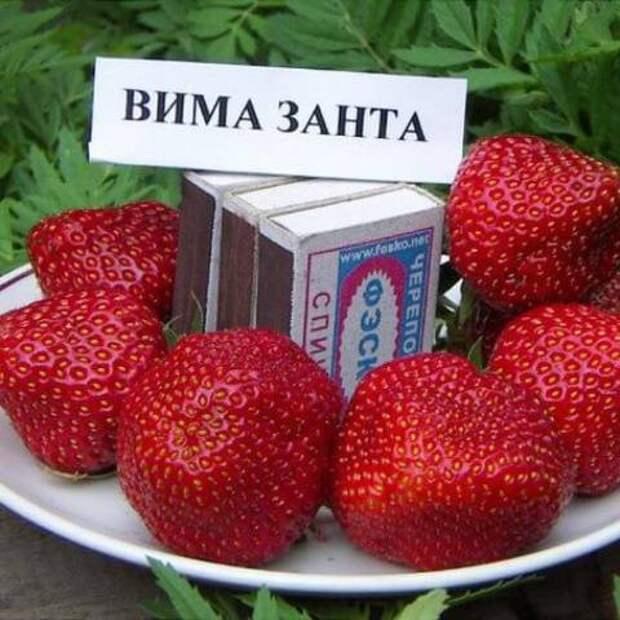 Самые плодоносные сорта клубники