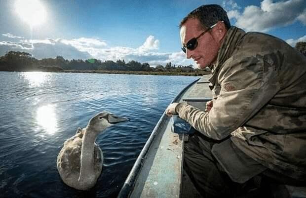 Птенец лебедя, которого подобрал и вырастил мужчина, отказался возвращаться в дикую природу