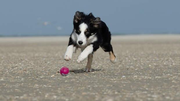 Собакам этой породы жизненно важно много двигаться