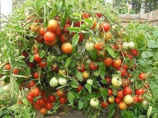 Чтобы было больше помидоров, чем зелени на них!