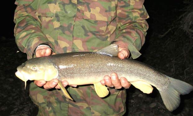 Самая опасная рыба российских рек