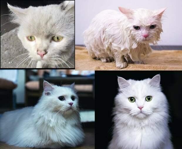 14. «Голодного и злого Альбуса нашли на улицах Каира. Теперь он избалованный и очень ласковый кот» до и после, добро, домашний питомец, животные, забота, кошки, люди, собаки