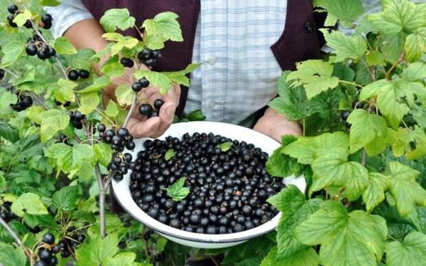 Сладость ягод смородины возрастёт в разы, если полить её полезной подкормкой