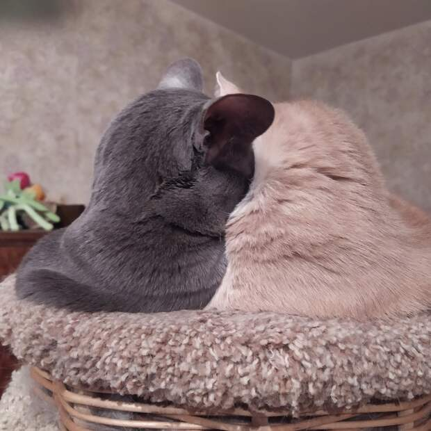 Кошки могут любить друг друга и без наличия гонад. Кастрация - единственный гуманный способ остановить течку у кошки и контролировать численность животных.