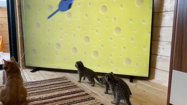 Детенышам дальневосточного лесного кота из приморского зоопарка показывают мультики