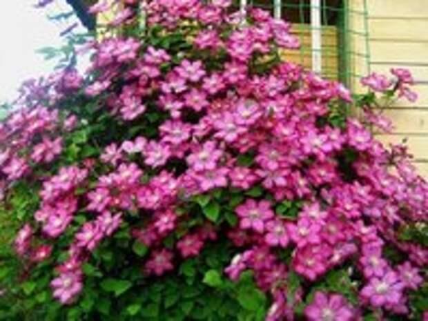 Цветочный водопад клематиса.