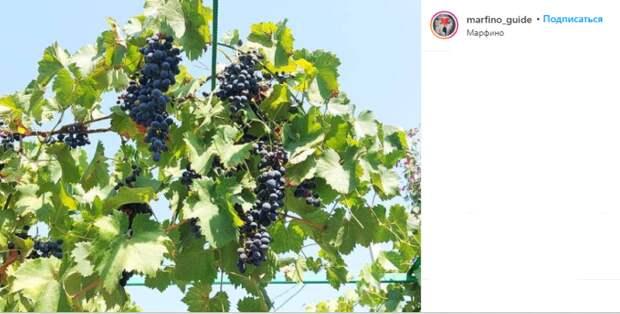 Фото дня: в Марфине созрел виноград