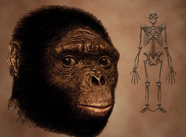 Голова и скелет ардипитека