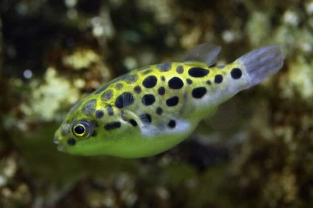 Puffer Fish аквариумные рыбки, животные, необычные рыбы, рыбы