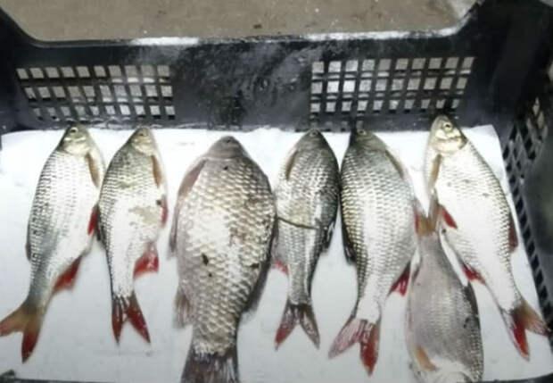 Солим рыбу сухим посолом: ждем 19 дней и можно есть