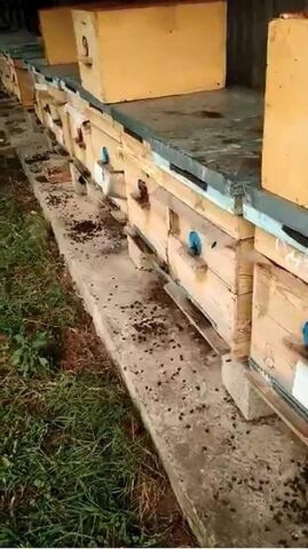 На Кубани разорили предпринимателя, потравив его пчел ВИДЕО