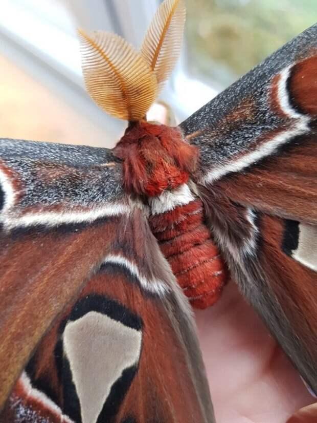 """Бабочка """"Павлиноглазка атлас"""" выведенная в домашних условиях Attacus atlas, Павлиноглазка атлас, бабочка, сделай сам"""