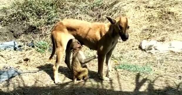 В Индии собака усыновила маленькую обезьянку, и теперь они неразлучны