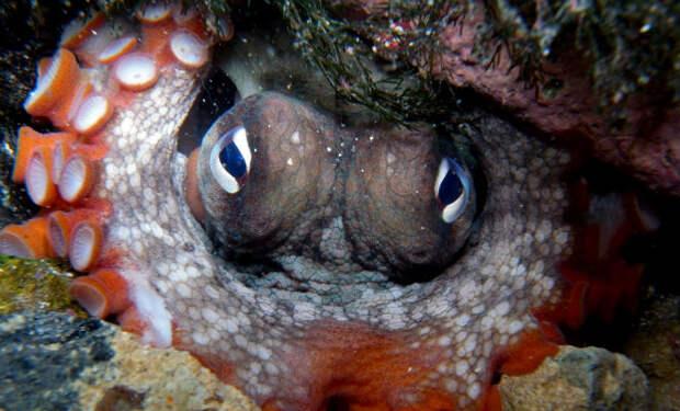 Два осьминога не поделили территорию: редкое подводное видео