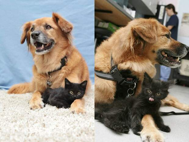 Пёс Бутс который работает кошачьей няней-7