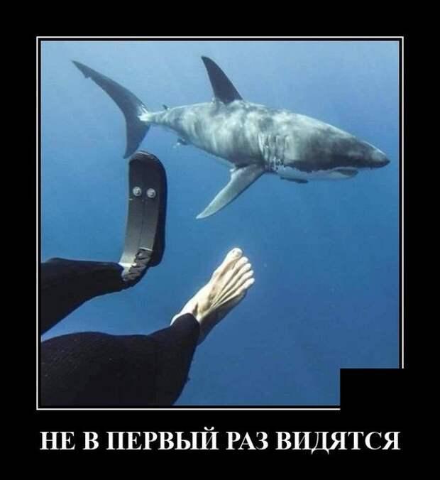 Демотиватор про акулу и дайвера