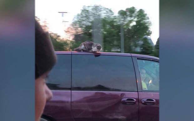 Кошка-каскадер промчалась на крыше автомобиля по скоростному шоссе