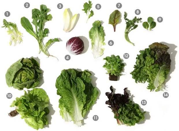 Виды салатных листов