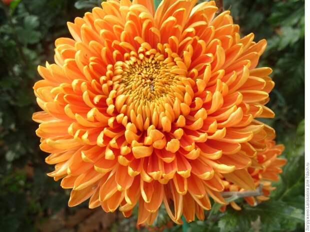 Лечебная цветотерапия на даче: второй мазок – оранжевый