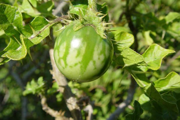 Ядовитые ягоды, которые нельзя рвать