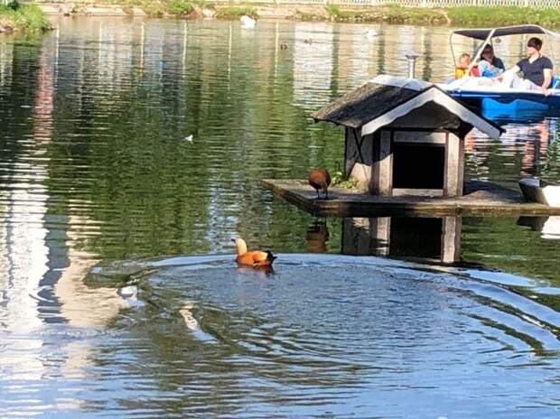Парочка огарей в Лианозовском парке не боится ни людей, ни катамаранов