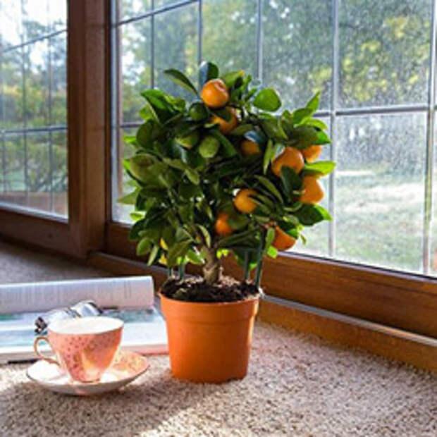 Как размножать мандарины