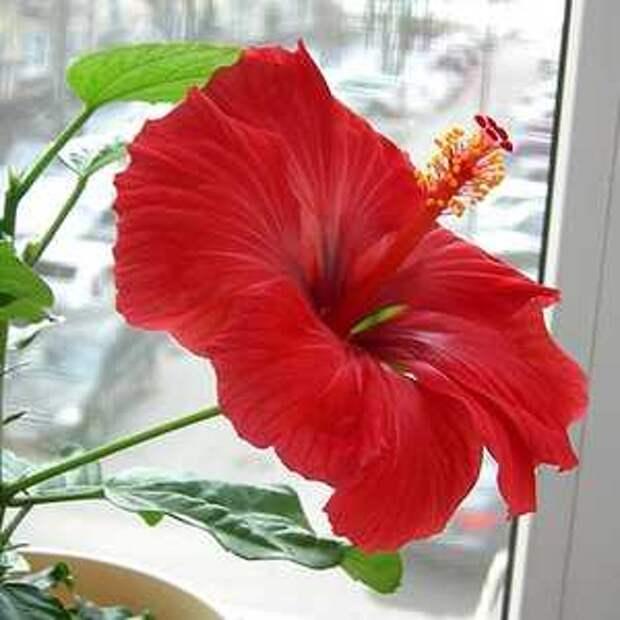 Гибискус и другие цветы, которые нельзя держать дома