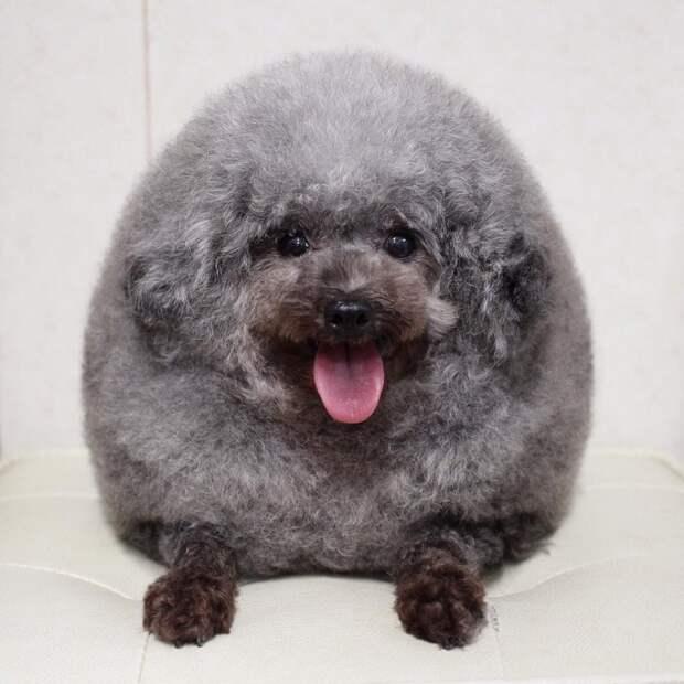 Японский парикмахер превращает собак в милые пушистые облачка