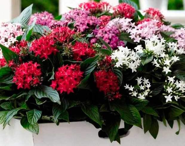 Комнатное растение Пентас (Pentas)